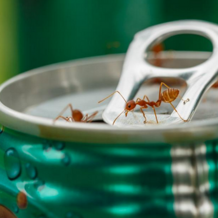 Ants on a drink can